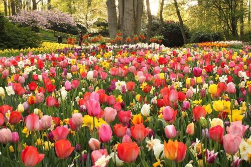Tulpen - Jacco van Brecht (1) (1)